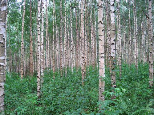 Ogham meanings Birch Tree