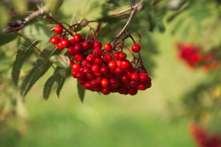 rowan tree berries