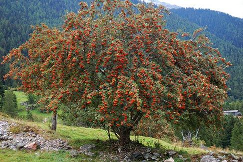 Ogham Alphabet Meanings Rowan Tree