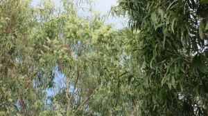 Paper Bark Tree Spiritual Uses and Benefits