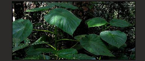 stinging plant