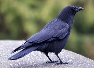 Spiritual Poetry Raven