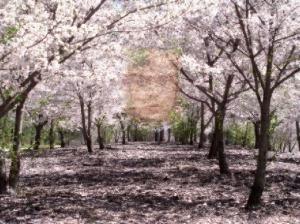 Kodama tree spirits