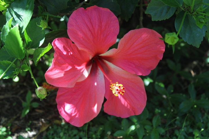about hibiscus