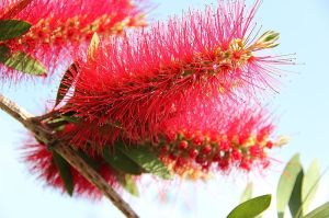 Bottle Brush Tree Spiritual Uses and Benefits