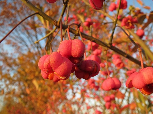 euonymus / spindle