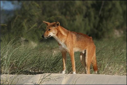 Australian Dingo animal spirit