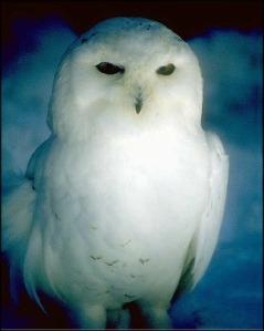 Animal Spirit Guide White Owl