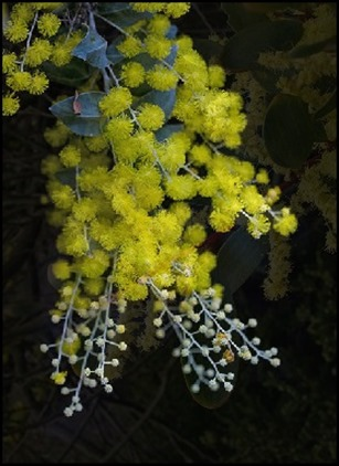 wattle plant uses and benefits