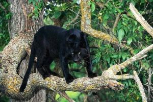 Animal Spirit Guide Black-Panther.