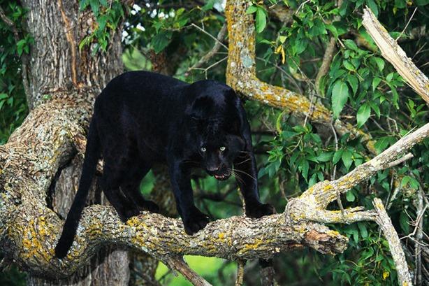 black panther animal spirit guide