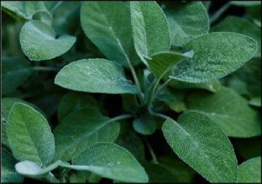 Sage Herbs