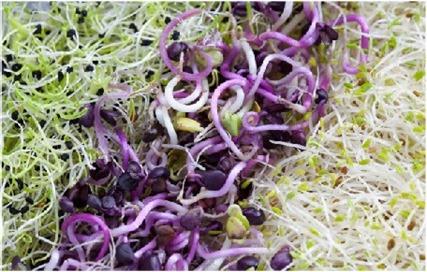 Alfalfa Herb benefitss and uses
