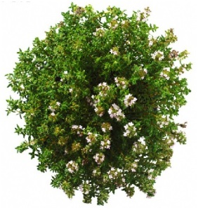 Healing herbs thyme