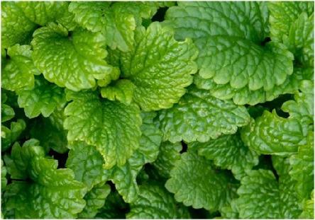 Lemon Balm - Herbs