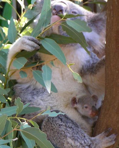 Koala_with_young