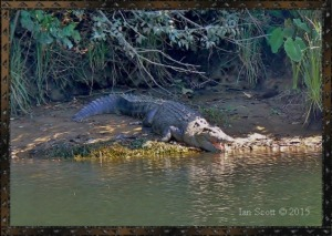 Crocodile daintree river