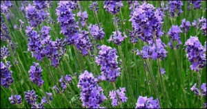 Lavender uses and medicinal benefits