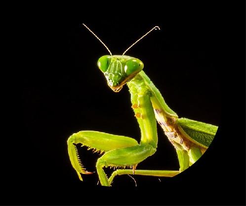 praying mantis spirit animal