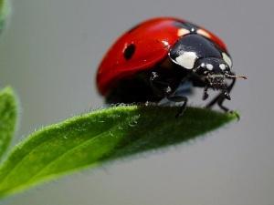 ladybug animal spirit guide