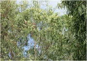 paperbark tree uses