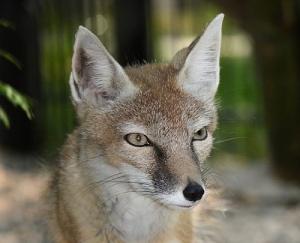 fox totem animal