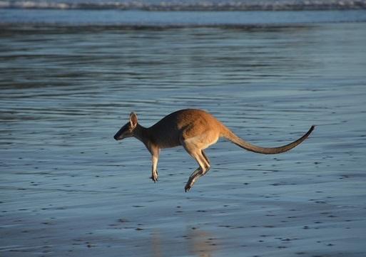 animal spirit guide kangaroo