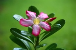 Free Image desert rose