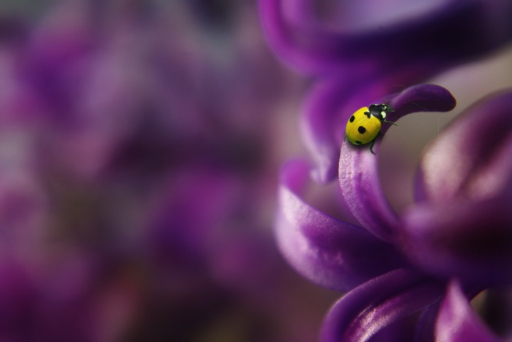 Yellow Lady beetle meaning