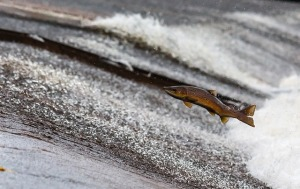 salmon totem animal