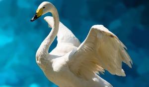 swan totem animal