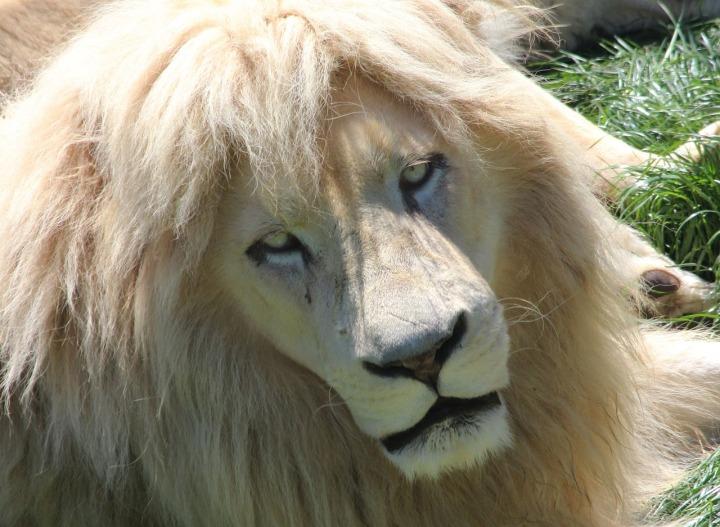 lion spirit animal